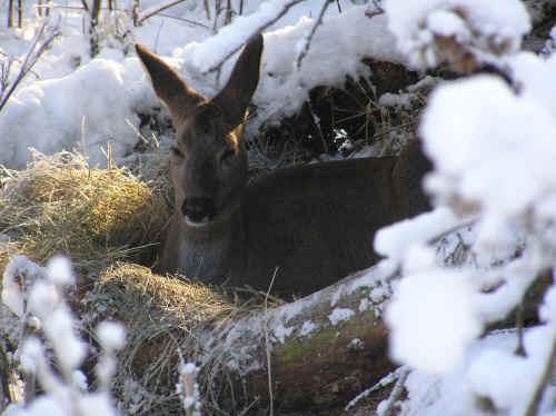 wie der felthase den winter überlebt