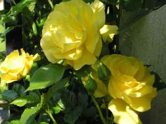 abgefressene blätter bei rosen